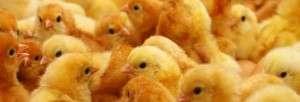 nuestras-gallinas