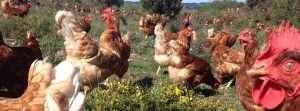 granja-avicola